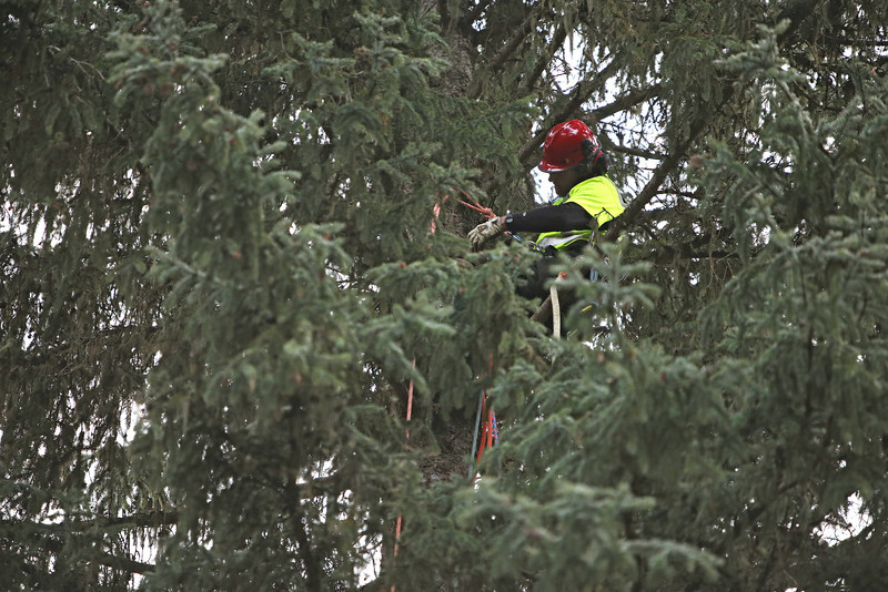 The U.S. Forest Service's Jim Beckwith sets up crane rigging on an eighty-eight foot Engelmann Spruce, destined to be the U.S. Capitol Christmas Tree, in the Colville National Forest, in Pend Oreille County, Wash., on Friday, November 1, 2013. (Young Kwak/The Pacific Northwest Inlander)