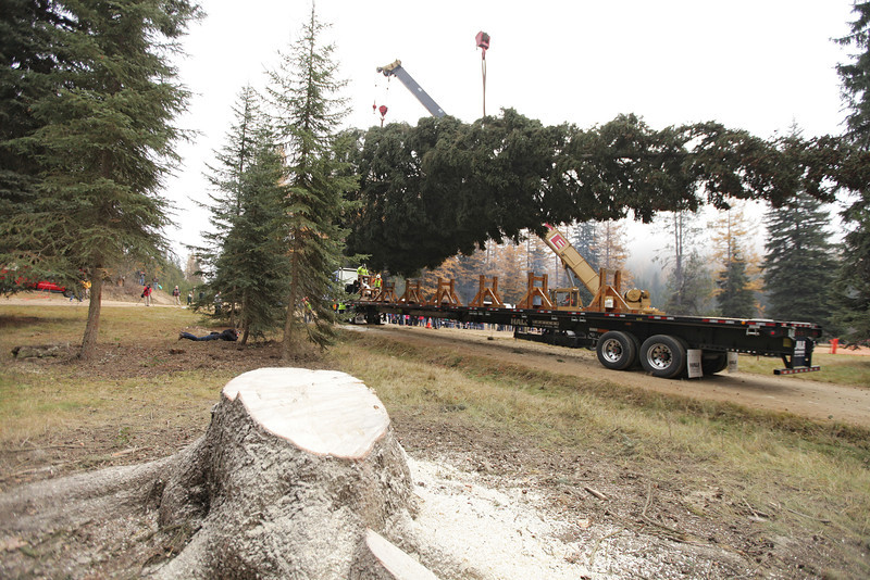 An eighty-eight foot Engelmann Spruce, destined to be the U.S. Capitol Christmas Tree, is lifted by a crane in the Colville National Forest, in Pend Oreille County, Wash., on Friday, November 1, 2013. In the foreground is the stump of the tree. (Young Kwak/The Pacific Northwest Inlander)