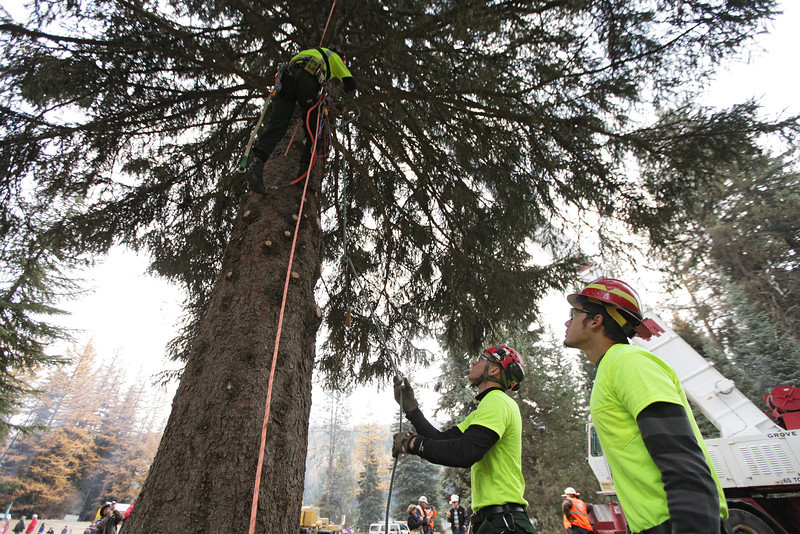 U.S. Forest Service employees Alex Jess, center, and Michael Rude hand Jim Beckwith a saw at an eighty-eight foot Engelmann Spruce, destined to be the U.S. Capitol Christmas Tree, in the Colville National Forest, in Pend Oreille County, Wash., on Friday, November 1, 2013. (Young Kwak/The Pacific Northwest Inlander)