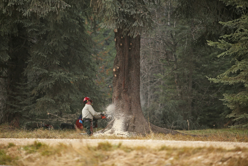 U.S. Forest Service employee John Wirth cuts an eighty-eight foot Engelmann Spruce, destined to be the U.S. Capitol Christmas Tree, in the Colville National Forest, in Pend Oreille County, Wash., on Friday, November 1, 2013. (Young Kwak/The Pacific Northwest Inlander)