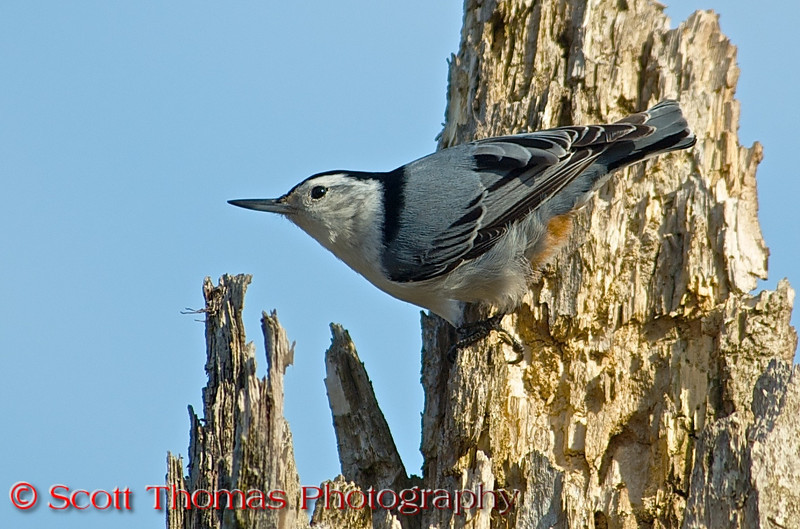 """White-breasted Nuthatchs (<i>Sitta carolinensis</i>) are active, agile little birds with an appetite for insects and large, meaty seeds. They get their common name from their habit of jamming large nuts and acorns into tree bark, then whacking them with their sharp bill to """"hatch"""" out the seed from the inside.    My mother called them Upside Down Birds as they walk head first down tree trunks to our bird feeders."""