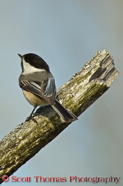 "Black-capped Chickadees (<i>Poecile atricapillus</i>) almost universally considered ""cute"" thanks to its oversized round head, tiny body, and curiosity about everything, including humans. If you start feeding birds from feeders chances are a chickadee will be one of your first visitors.  They seem to have an internal radar for free food.  In winter, chickadees will flock up.  Among the chickadee flocks will be nuthatches, titmices and warblers.  These mixed flocks stay together because the chickadees call out whenever they find a good source of food. This calling-out forms cohesion for the group, allowing the other birds to find food more efficiently."
