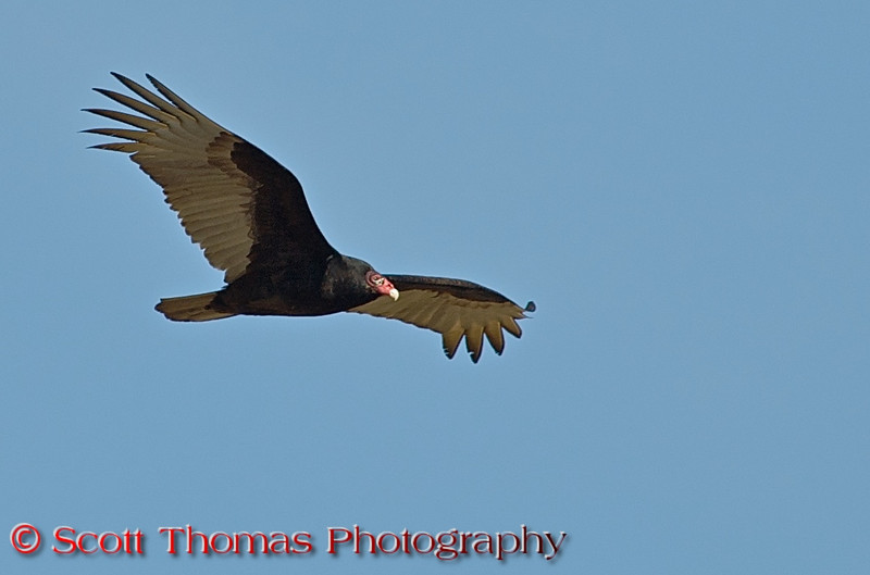 Turkey Vulture (<i>Cathartes aura</i>) has an ugly, bare-skinned face but are beautiful on the wing. Seldom does this graceful and talented bird flap its wings as it soars over large areas searching for carrion like this one is doing over the Montezuma National Wildlife Refuge.  Turkey vultures find their meals using its keen vision and sense of smell, flying low enough to detect the gasses produced by the beginnings of the process of decay in dead animals. The olfactory lobe of a turkey vulture brain, responsible for processing smells, is particularly large compared to that of other animals.