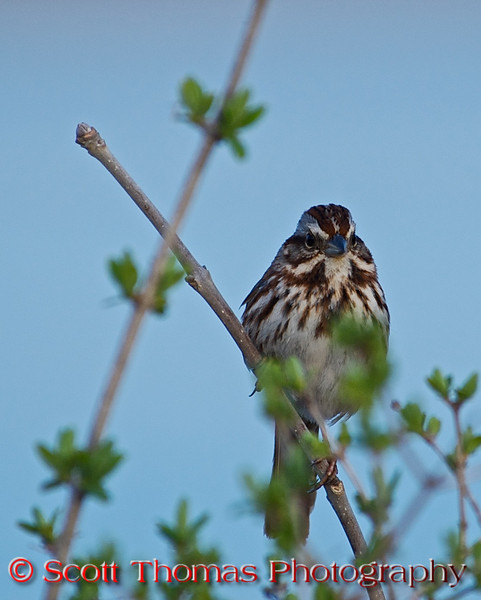 For the third year in a row, the male Song Sparrows (<i>Melospiza melodia</i>) welcomed me to the Montezuma National Wildlife Refuge as they flittered between their perches and looking for nearby food sources.  They were not singing much as it was still a bit early for them to start serenading the females.  I found it interesting to learn song sparrows typically learn their songs from a handful of other birds with neighboring territories. The students will then choose a territory close to or replacing the birds they learned from. This allows the song sparrows to address their neighbors with songs shared in common with them. It has been demonstrated song sparrows are able to distinguish neighbors from strangers on the basis of song, and also  females are able to distinguish (and prefer) their mate's songs from those of other neighboring birds, and they prefer songs of neighboring birds to those of strangers.