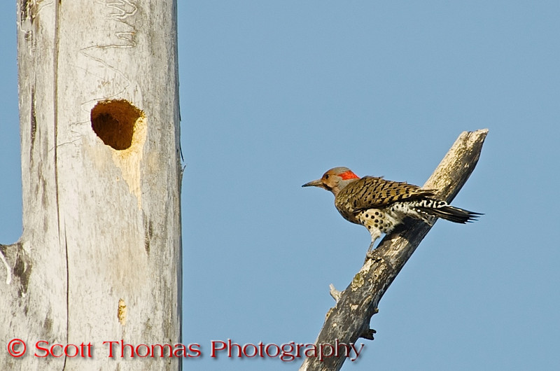 "Northern Flickers (<i>Colaptes auratus</i>) are large, brown woodpeckers with a gentle expression and handsome black-scalloped plumage. On walks, don't be surprised if you scare one up from the ground. It's not where you'd expect to find a woodpecker, but <a href=""http://flandrumhill.wordpress.com/2010/04/27/the-flying-anteater/"" target=""new"">flickers eat mainly ants and beetles, digging for them with their unusual, slightly curved bill and long tongue</a>. When they fly you'll see a flash of color in the wings – yellow if you're in the East, red if you're in the West – and a bright white flash on the rump."