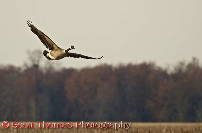 """Canada Goose (<i>Branta canadensis</i>)  flying over the Main Pool in the Montezuma National Wildlife Refuge.  I have many photos of geese flying in formations and groups.  Somehow this lone goose flying by himself says to me this is a wilderness species and not the nuisance one it is becoming in suburban neighborhoods in North America.  I did a whole photo essay last year on the <a href=""""http://www.sthomasphotos.com/Photo-Essays/The-Geese-of-Montezuma/"""" target=""""new"""">Geese of Monteuzma</a> where I talked in depth about the Canada Geese plight."""