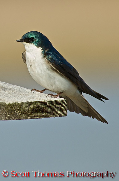 Tree Swallows (<i>Tachycineta bicolor</i>) nest in natural or artificial cavities near water and are often found in large flocks. They readily use nest boxes, including those built for bluebirds. Declines in cavity-builder populations are resulting in fewer natural nesting sites for tree swallows, although the swallow population remains healthy.  This tree swallow is on a nesting box near the Montezuma National Wildlife Refuge Visitor Center. Their nests consist of multiple layers of grasses and thin twigs, and is lined with large feathers from other species. The female lays four to seven white eggs and incubates them by herself. The eggs hatch in about fourteen days and the hatchlings are altricial. The hatchlings typically fledge within twenty-four days.