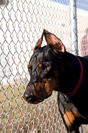 Doberman Rescue Unlimited (DRU) is not your average rescue shelter. The Rescue can house 50 residents at a time, and additional dogs in foster homes.
