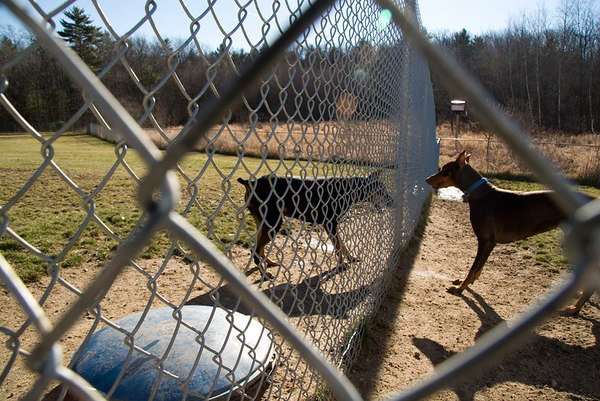 Star and Nemo meet up at the fence during their playtime. The Rescue has two large enclosed areas in which individual and groups of dogs can get daily exercise.
