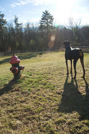 Dasch looks philosophical here, standing next to his fire hydrant while watching Angel. What would a proper dog run be without a fire hydrant?