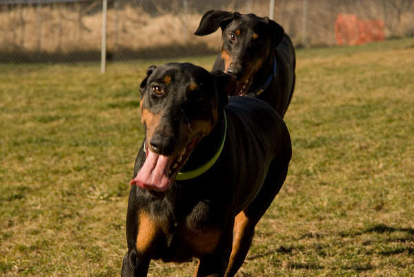 The Rescue has designed a facility and schedule that is perfectly suited to the needs of Dobermans. Dobies thrive in an organized and consistent environment, and one in which they have enough room to exercise and keep busy.