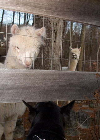 While out on her walk Meg meets some neighbors, a pair of alpacas. Afternoon walks through a nearby neighborhood provide an opportunity for staff to train and gauge the social skills of the dogs. They encounter children, dogs, cats, and, apparently, less traditional pets.