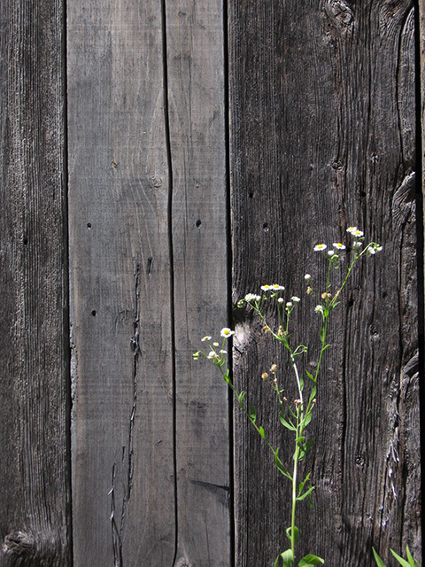 <b><i>Daisies and Old Wood: </i></b>Sometimes it seems that the artificial world is unyielding, and it is nature that must give way. Here, wild daisies are just about to reach their peak, against the backdrop of a weathered barn door. Looking closely, we can see unopened buds on the stems. Can you imagine the daisies proudly showing their bright yellow and white flowers? Can you remember when the barn door was new and smelled of fresh-cut lumber?
