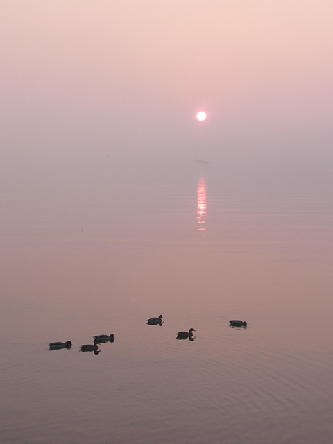 <b><i>Ducks at Sunrise: </i></b>Sometimes, usually in the spring or fall, the sunrise over Lake Ontario is accompanied by a fine mist. It's not quite fog, but it's enough to soften the edges and hide the horizon line. The effect doesn't last. Too early, and you find yourself in the pre-dawn darkness. Too late, and the sun is well up and the mist is burning off. On one such morning, I dashed out the door with my camera, eager to get to the shoreline and shoot the sunrise. I heard quacking and found these mallard ducks. I followed them along the shoreline for a while, taking several shots. This one is my favourite. And while I was shooting, I was just shooting. I wasn't thinking about the drive into the office or the work waiting for me there. Later on I realized that's the real Zen.