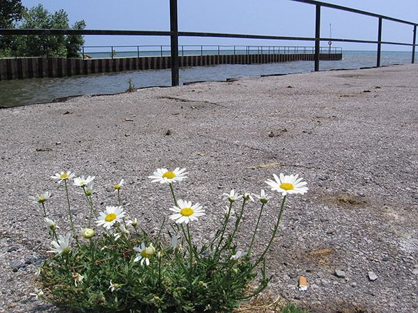 <b><i>The Garbage and the Flowers: </i></b>Remember that line from <i>Suzanne</i>, the Leonard Cohen song? Here, the scene is a weathered pier some 40 years old. Its asphalt is weathered and cracked. It is littered with cigarette butts and the excrement of waterfowl. An unlikely place to find beauty, but look at that cluster of daisies!