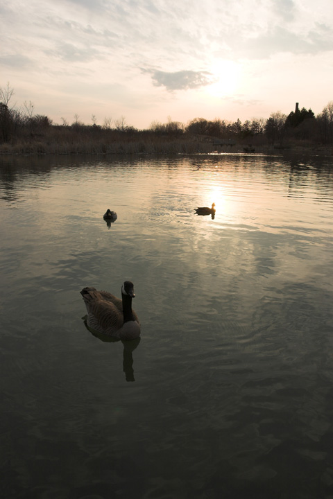 "<b><i>Three Geese at Sunset: </i></b>I began with a sunrise, and so I will end with a sunset. Again, this is an image full of metaphors from the trite to the profound. This composition continues to move me in inexplicable ways. Is it the muted colours; the random yet balanced arrangement of the geese; the implied drama of the cloudy sky? Sometimes it's all of these. Sometimes it's the calm expression on the closest goose, which seems to say ""I am here,"" no more and no less."