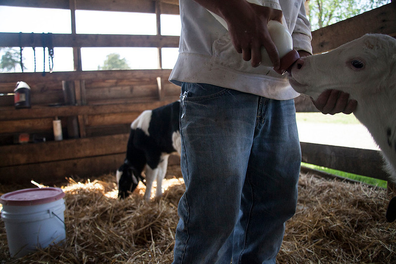 A newborn calf is fed by bottle on the farm. Each newborn calf is kept with its mother for the first day and then is taken to an individual house, or a hutch. The calves and cows are moved to larger houses and pens as they grow until they are old enough to be moved to pasture. The calves are fed colostrum, or the milk from a cow who has just calved, for the first day. It is full of antibodies and nutrients. The calves are then fed fresh milk. After three days they are fed calf grain. Around two months of age, calves are weaned. Cows only live 5-6 years and start having their first calves around age two.