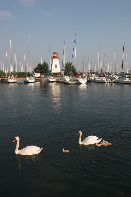 The marina is also home to a wide variety of waterfowl. These swans are raising a family here.