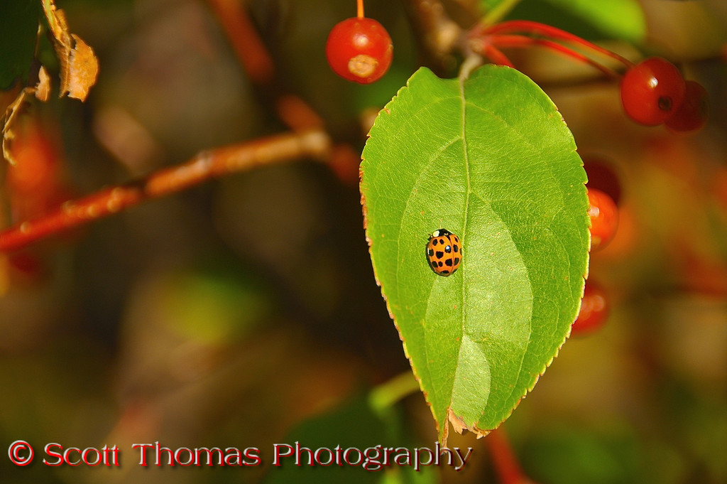 """A <a href=""""http://www.geocities.com/sseagraves/ladybugfacts.htm"""" target=""""new"""">Ladybug</a> basking in some late October sun in central New York."""