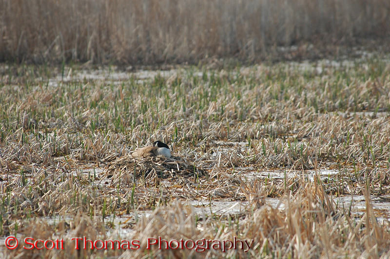 Can you spot the nest?    Nesting Canadian Geese and their eggs are at their most vulnerable so they must use their coloring and ability to be totally motionless for hours for protection. It would be very hard for a predator to see her on this nest unless she moved or made a sound.