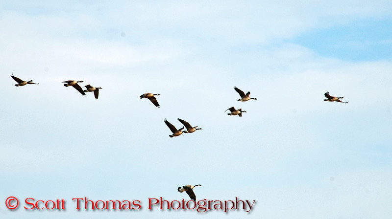 Overhead flocks of Canadian Geese move from the pool out to the refuge's planted fields to feed.