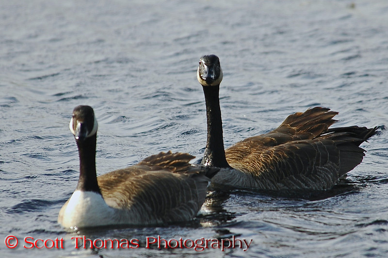 """Canadian geese mate for life and will stay together during all seasons.  Here's a fun website to learn more about Canadian Geese: <a href=""""http://www.geesepeace.org/geesefactsmore.html"""" target=""""new"""">More Geese Facts</a>"""