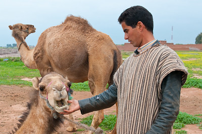 Camels and the Camel tender