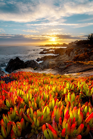 iceplant along the pacific coast.  Pacific Grove California
