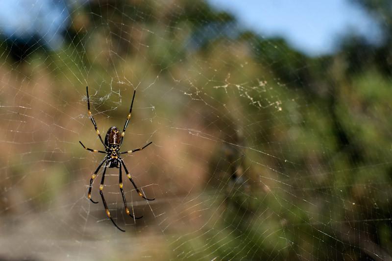 An Australian spider...