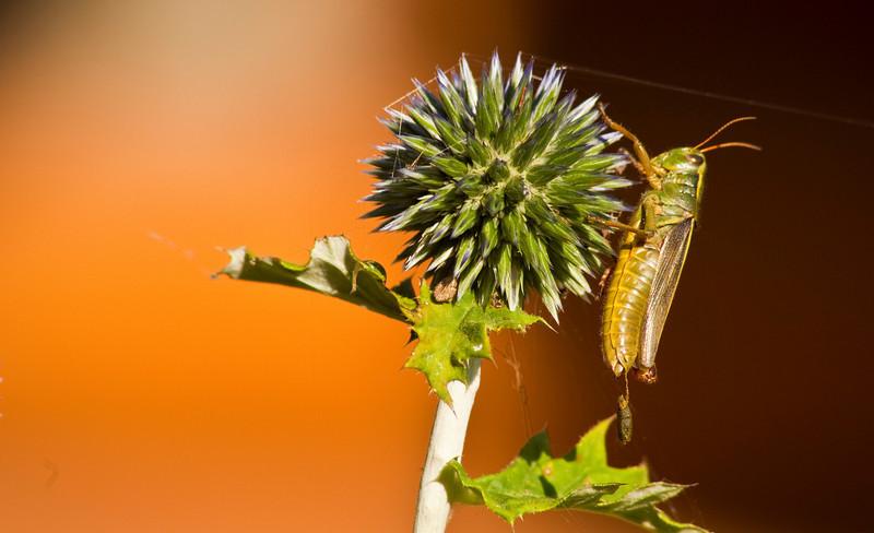 Grasshopper in Labor