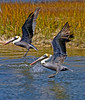 Pelicans on Jekyll River