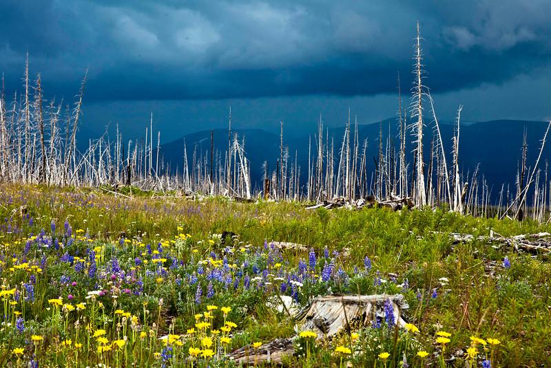 Life after Fire, Glacier National Park