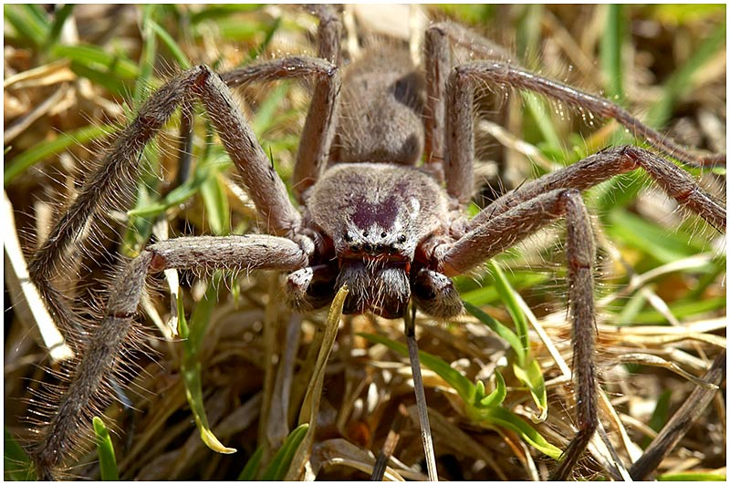 Photo Friday Challenge 10th November 2006: Gross<br /> <br /> Huntsman Spider.<br /> <br /> This image was selected as a noteworthy.