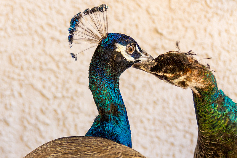 Mr & Mrs Peacock