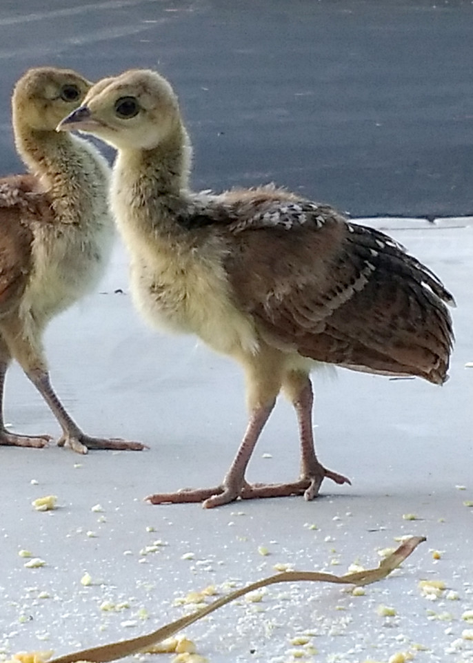 Peacock Babies