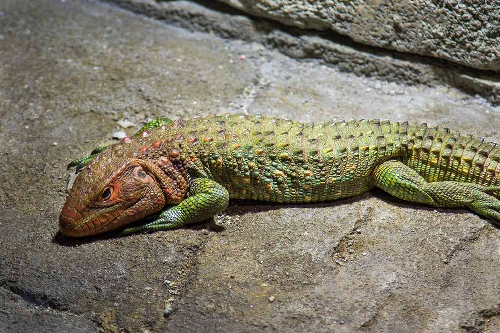 Lizard Basking