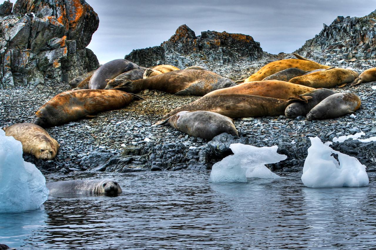 Elephant seals, Torgersen Island
