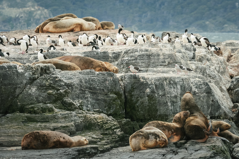 Sea lions and blue-eyed shags on the rocks in Tierra del Fuego