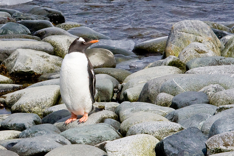 Gentoo penguin, Half Moon Island