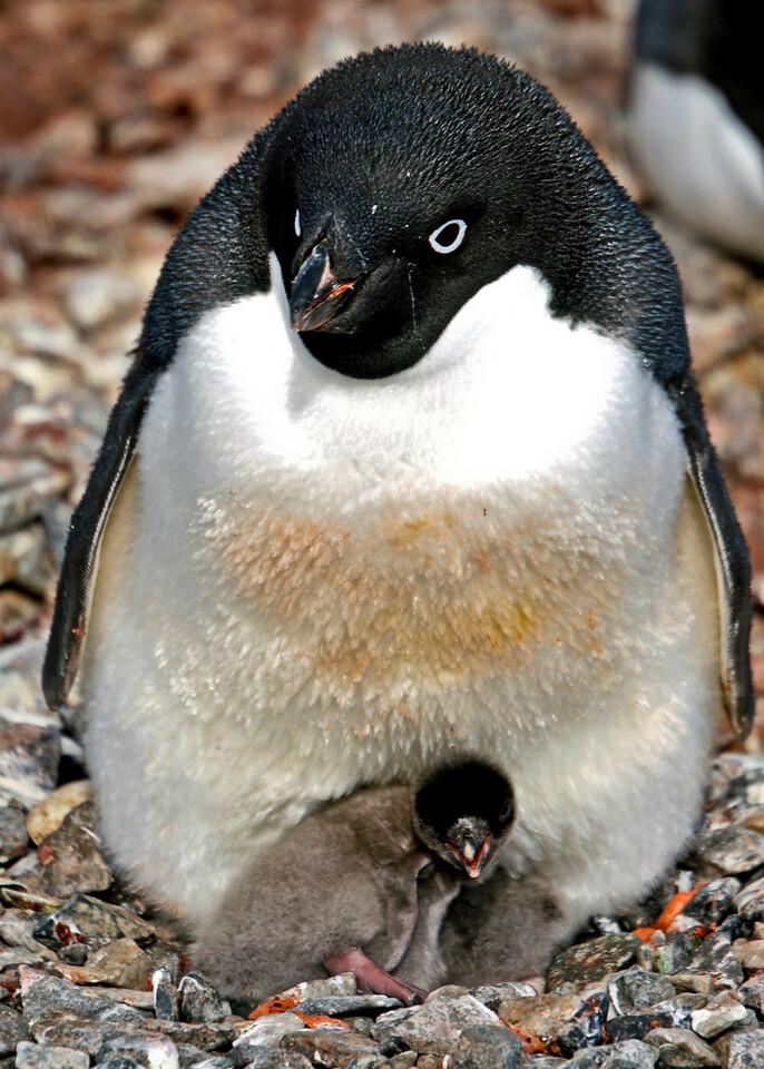 Adelle penguin, Torgersen Island