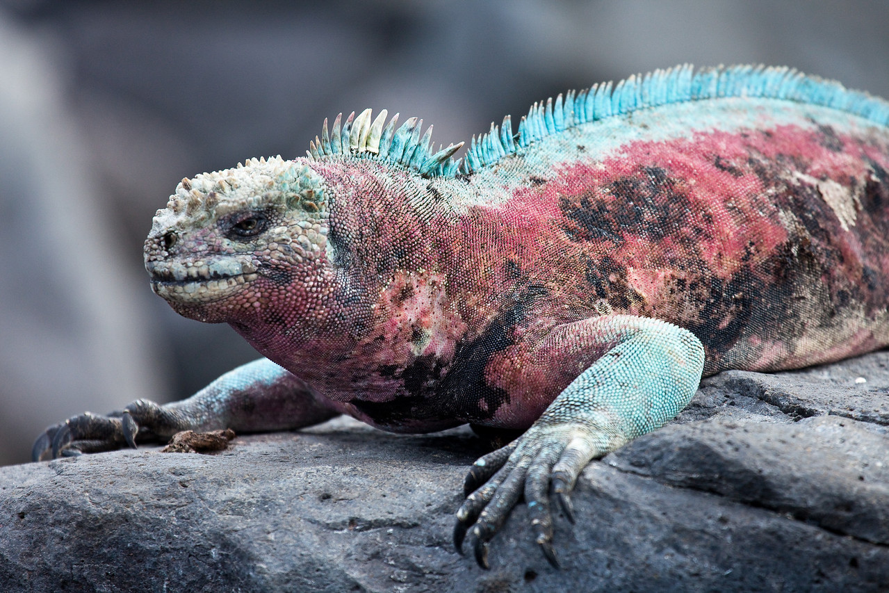 Colorful marine iguana