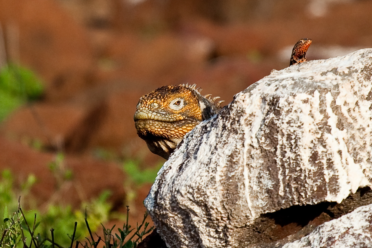 Land iguana and his friend Lava Lizard