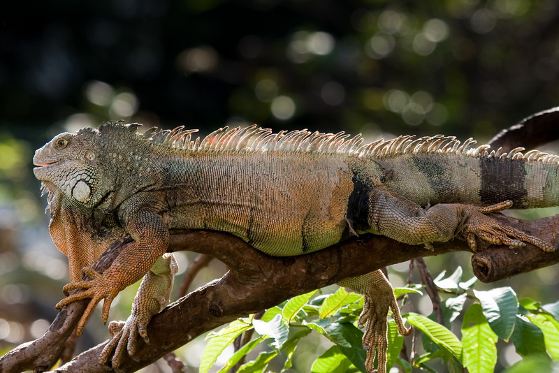 Ecuadorian iguana