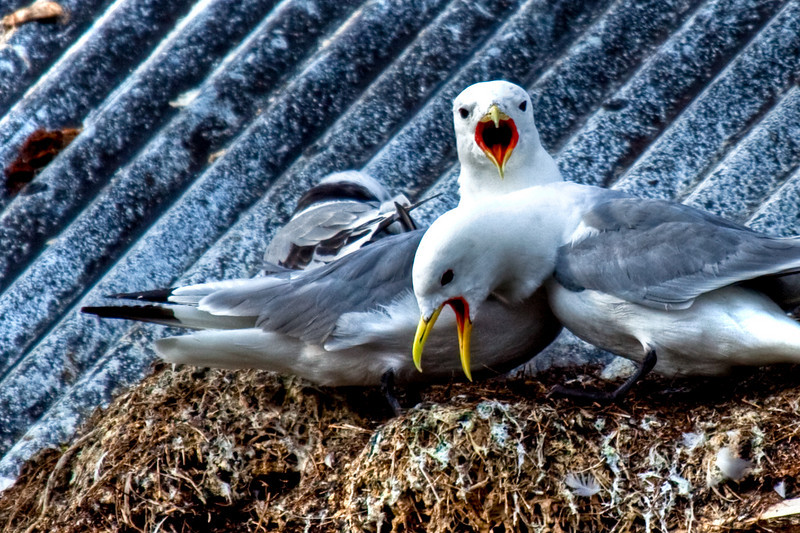 Kittiwake gulls squawking