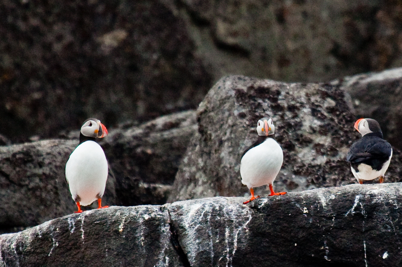 We only got a glimpse of these puffins.