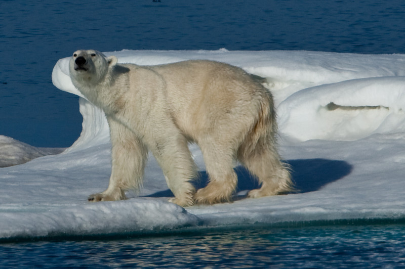We sighted our first polar bear who was sniffing us out.