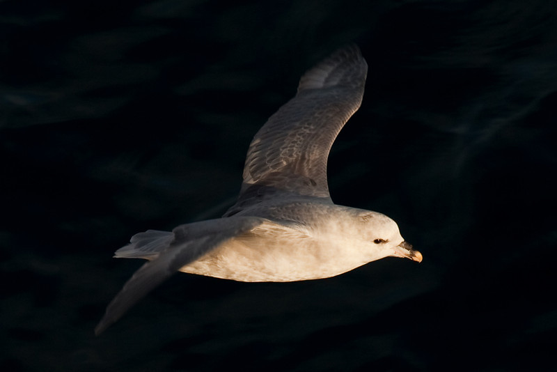 Another fulmar catching the morning light.