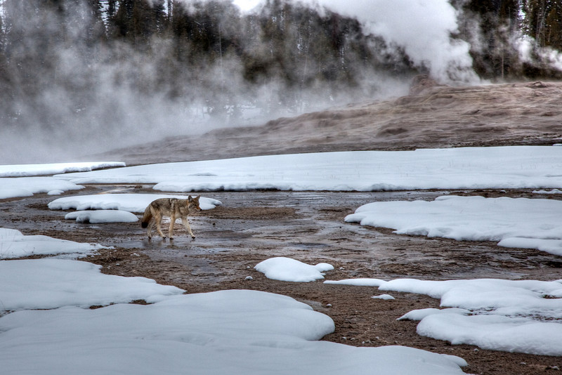 Coyote wandering by Old Faithful Geyser