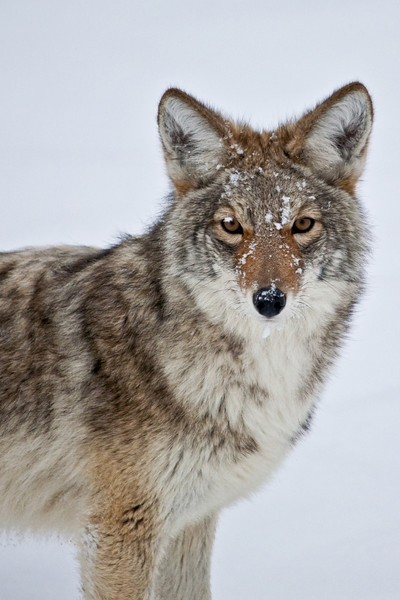 Handsome Coyote
