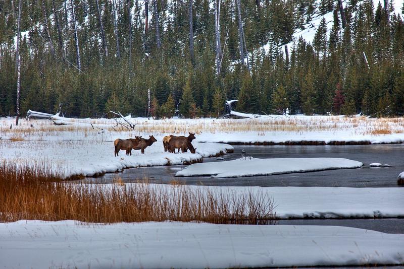 Elk in valley
